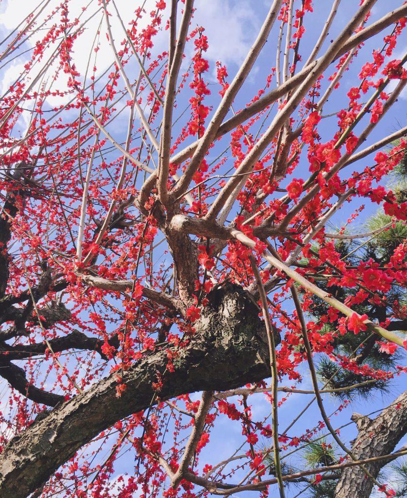 東京P-10近くの梅の花が咲きました